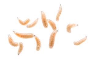 Schädlingsbekämpfung Maden
